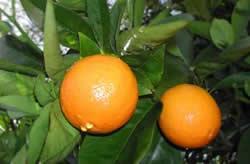 oranges venues d'ailleurs