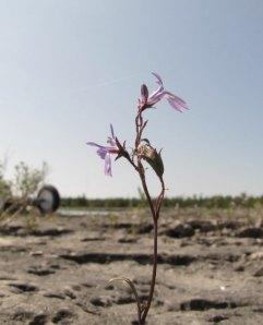 Une petite Orchidee qui colonise les plages rocheuses