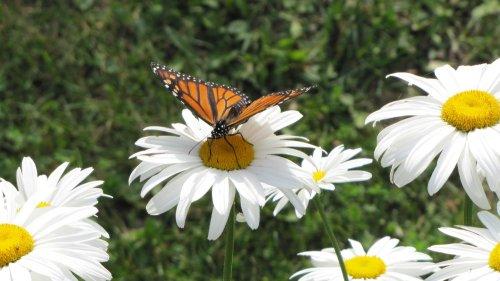 Un monarque se pose sur une marguerite