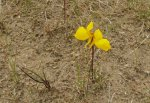 orchidee jaune