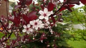Fleurs du prunus exotique