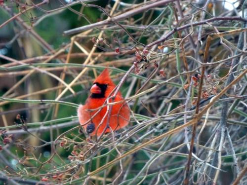 Le cardinal, de face, dans toute sa splendeur: le froid, il s'en moque!