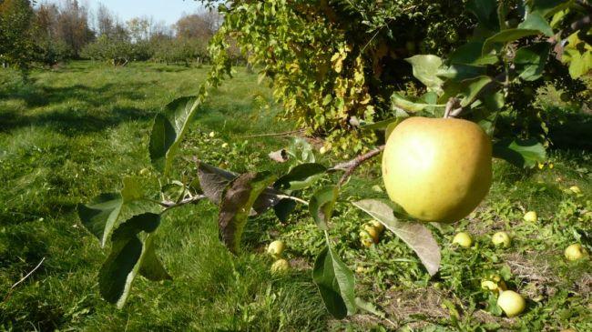 Il faut de la patience pour récolter de belles pommes!