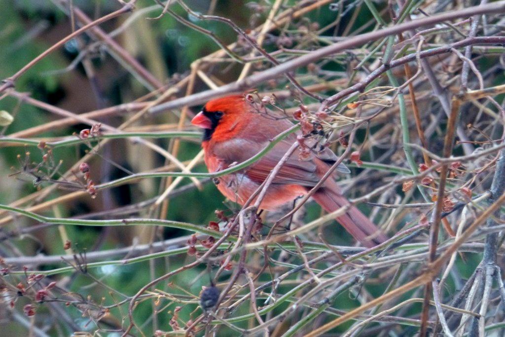 Un cardinal solitaire dans la cours arrière