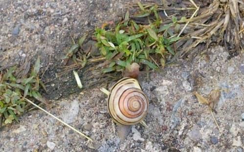Un escargot qui se hâte avec lenteur (à nos yeux!)