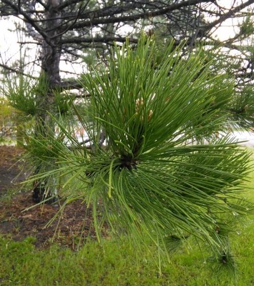 Mon gymnase secret: des branches de pin rouge bien horizontales, à la bonne hauteur!