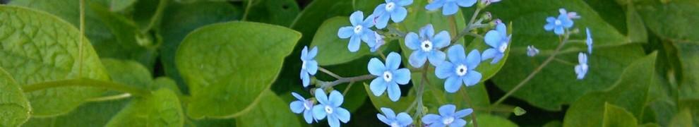 Ces quelques fleurs bleues, toutes petites, pour vous!